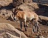 Przewalski's mare and foal